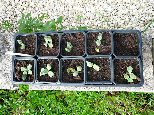 Butternut seedlings 4th April