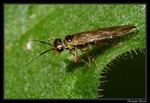 Xyela sp. femelle