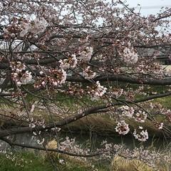 4月7日の桜