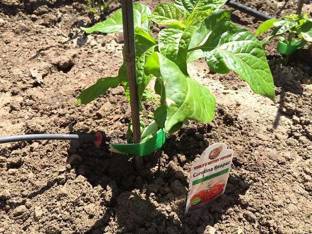Carolina Reaper planted