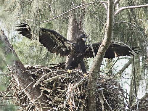 Bald Eaglet Glory alone on nest 4-20140404