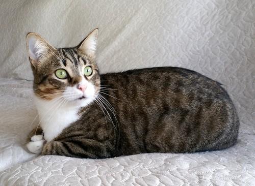 Cotton y Cobby, gatos pardo y blanquipardo inseparables, nacidos en Febrero´15, necesitan adopción Conjunta. Valencia. 32978985161_bbae57b418