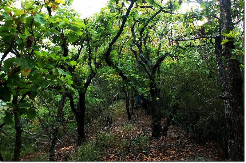 朗吾呂山槲樹林 5