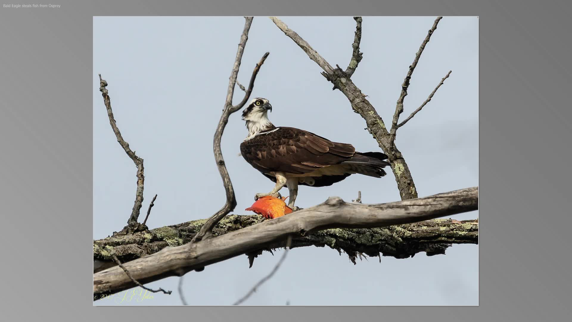 Eagle steals fish from Osprey