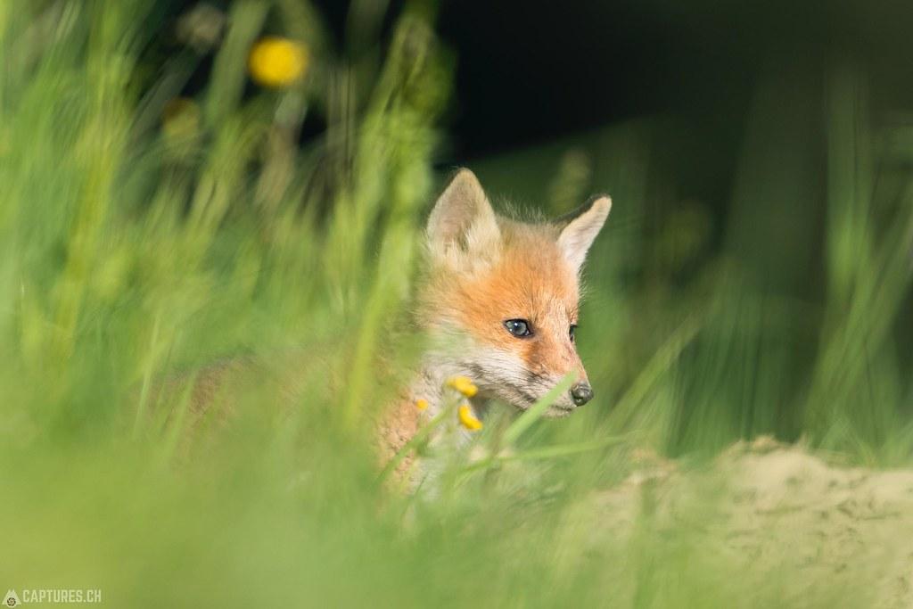 Fox kitty - Emmental