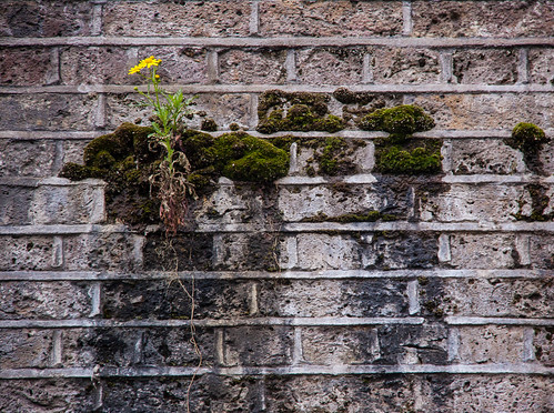 Yellow Flower Grows on the Wall - London, UK | by ChrisGoldNY