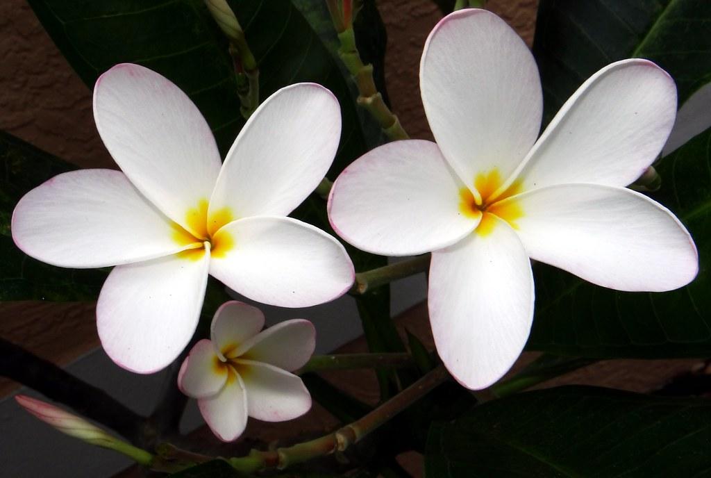 Frangipani Plumeria 19 Bangla কাঠ গোলাপ