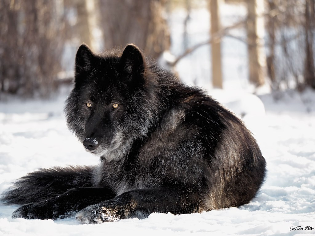 Black Wolf Dog For Sale