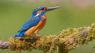 Kingfisher Environment-2a | by Andrew Haynes Wildlife Images