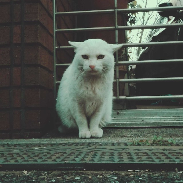 White stray cat