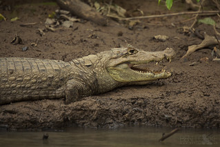 Spectacled Caiman | by Ben Locke.
