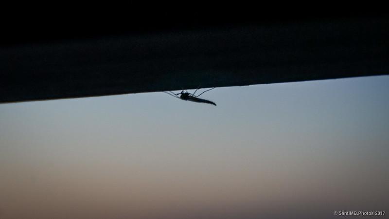 Un mosquito en el Aguait de Cal Tet