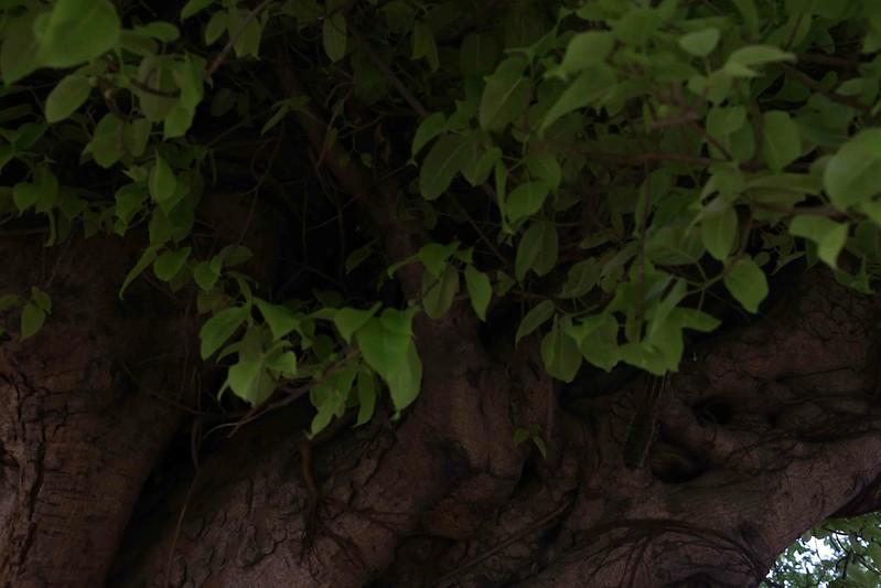 City Nature - The Grand Pilkhan Tree, Feroz Shah Kotla Ruins