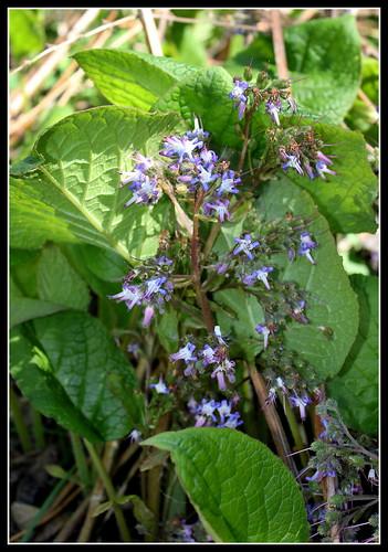 Trachystemon orientalis - bourrache du Caucase  33610208140_8569a065c1
