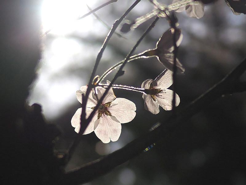 sakura170415_w2