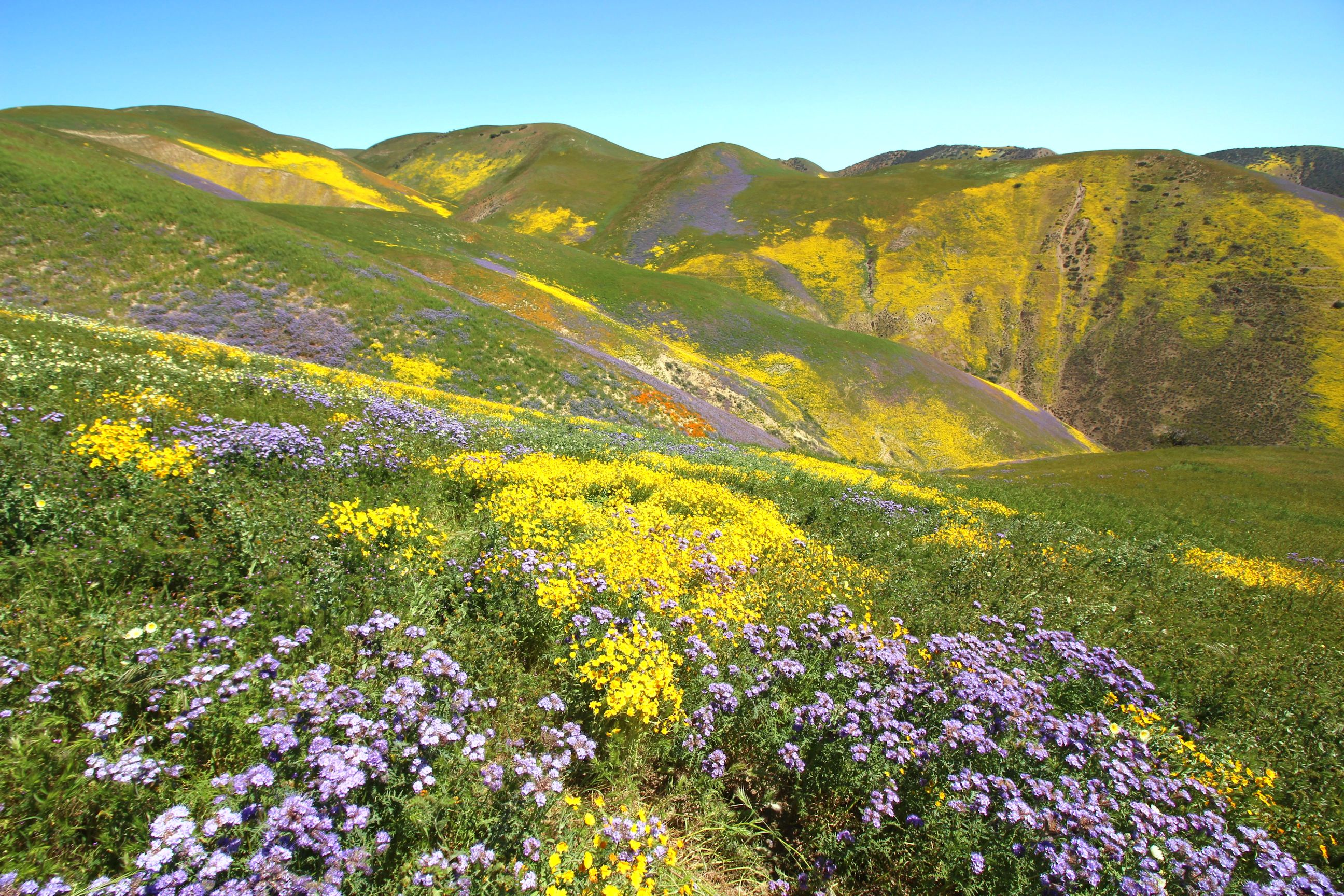 2017 Carrizo Plain Wildflowers