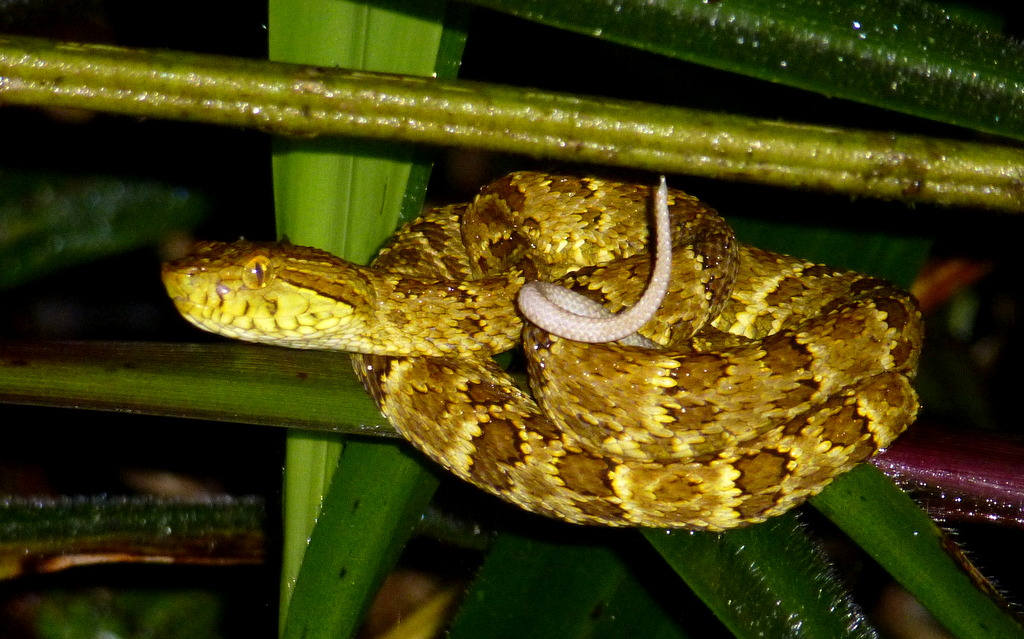 Spotted Lancehead Bothrops Punctatus The Wiggling Tail