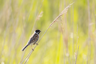 Reed Bunting, Elmley Marshes | by iesphotography