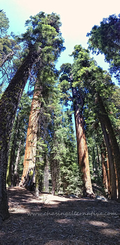 Sequoia Trees | by chasingalternative