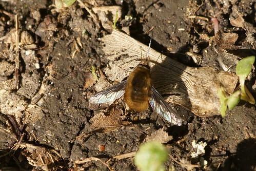 Bee-fly (Bombylius major)