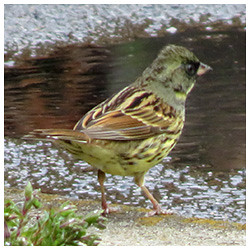 Black-faced bunting. Male