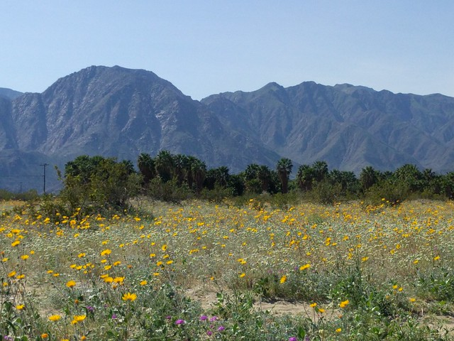 Wildflowers at Anza-Borrego