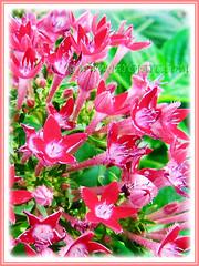 Captivating flowers of Pentas lanceolata (Egyptian Star-cluster, Egyptian Star, Star Flower, Star Cluster, Pentas), 29 Sept 2013