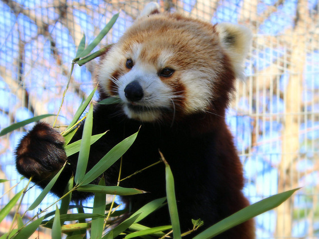 Red Panda - Mill Mountain Zoo