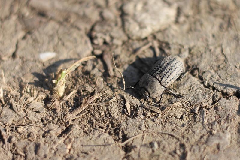 Медляк песчаный (Opatrum sabulosum)