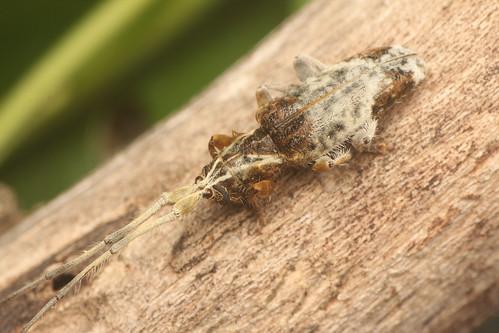 エゾナガヒゲカミキリ