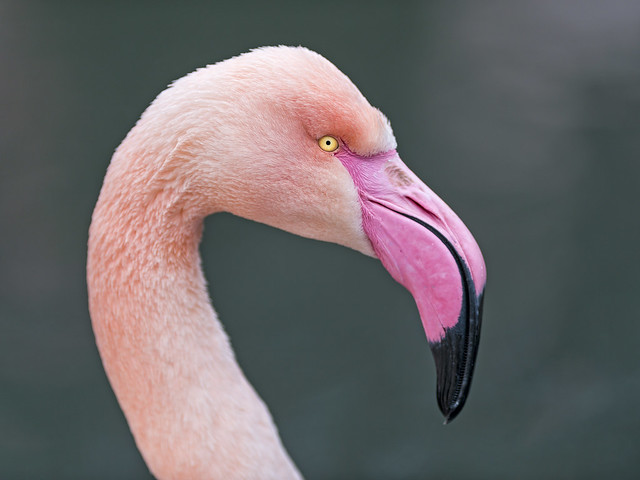 Flamingo profile