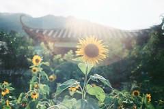 太阳 . 花 | Kodak Portra 160VC