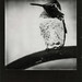 Hummingbird, Black Frame