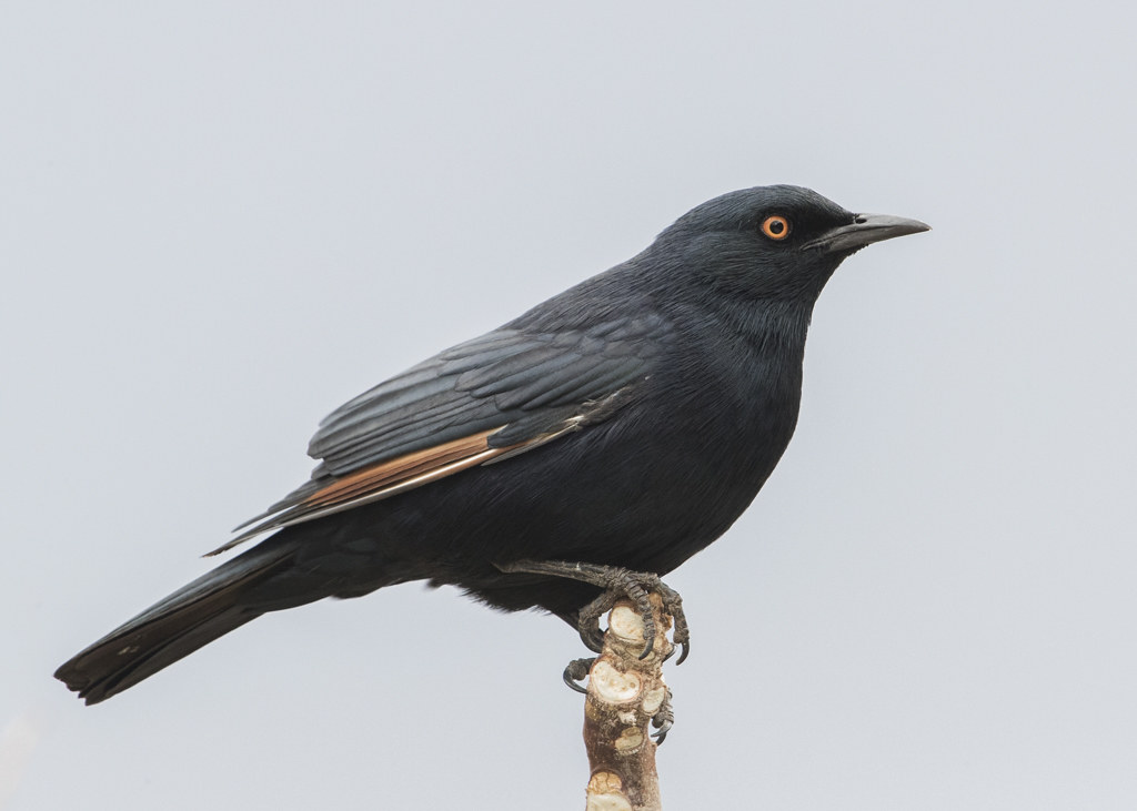 Pale-winged Starling  Onychognathus Nabouroup