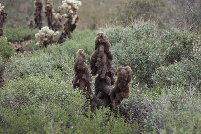 Brown Cholla Cactus