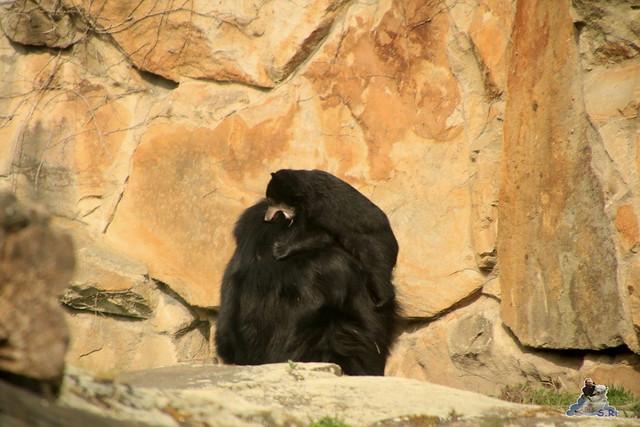 Lippenbär Nachwuchs 31.03.2017 im Zoo Berlin 042