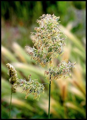 Dactylis glomerata - dactyle aggloméré 33372077404_632d70025f