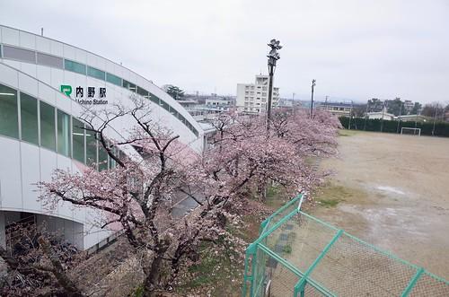 内野の桜 2017