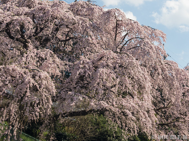 Sakura trees at west Yoshino area (2)
