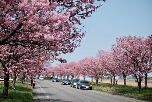 桜の花、舞い上がる道を 2017