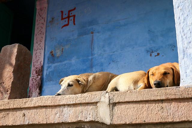 Two dogs relaxing, Jodhpur, India ジョードプル 気持ち良さそうにくつろぐ犬