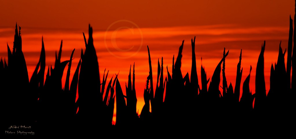 cornfield silhouette s...