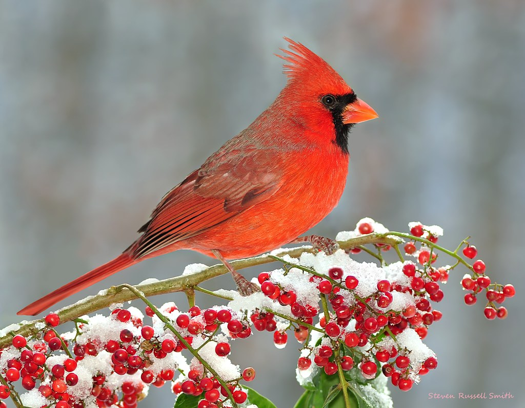Winter northern cardinal at snowy berries copyright - Pictures of cardinals in snow ...