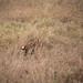 African Serval - Serengeti