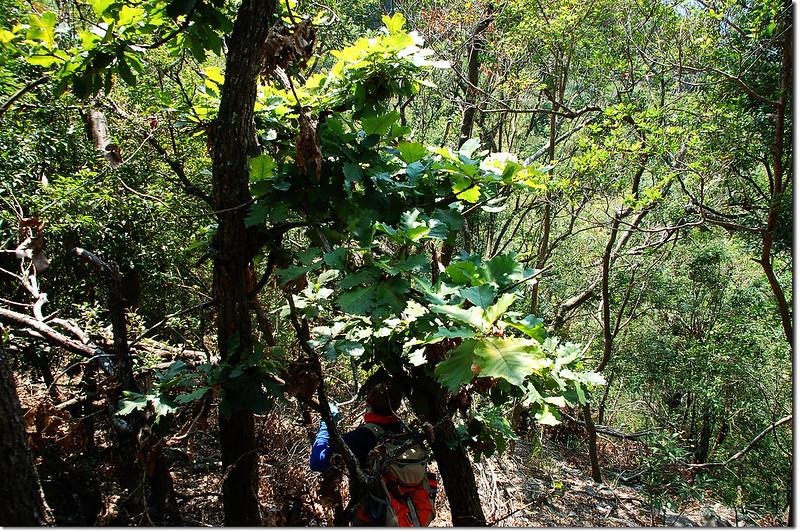 朗吾呂山槲樹林 3