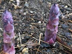 asparagus IMG_0949