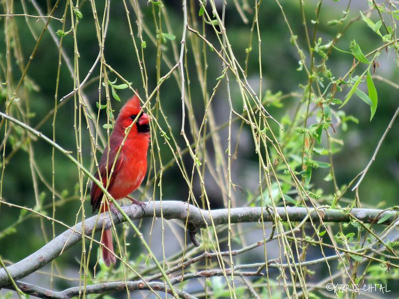 IMG_3985NorthernCardinal