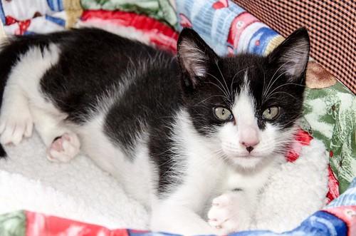 Cloud, gatito blanquinegro megadulce y guapo esterilizado, nacido en Enero´17, en adopción. Valencia. ADOPTADO. 33449379061_6a9984eb2e