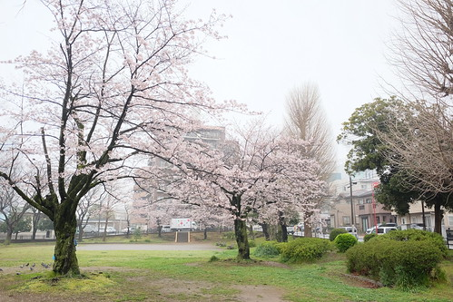 Honcho park sakura