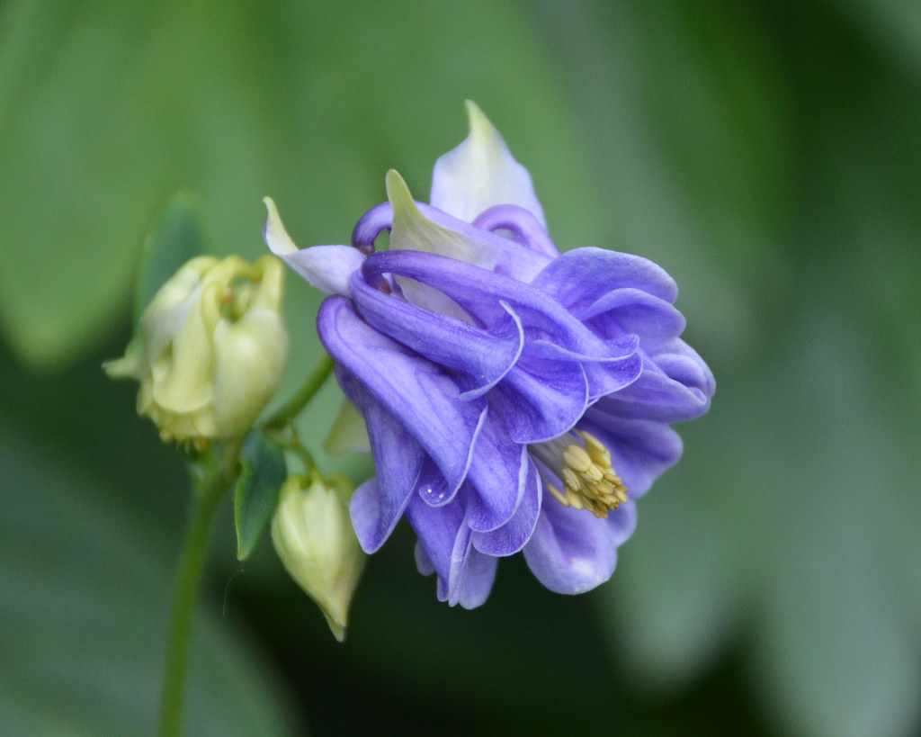 Purple Columbine Flower And Bud Monceau Flickr